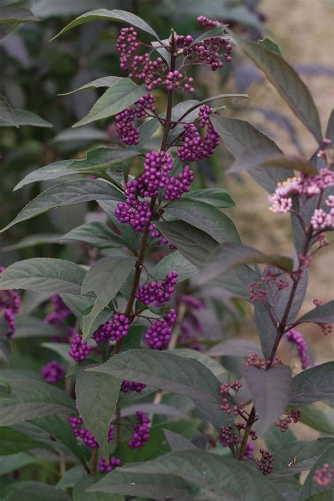 shrubs with purple berries purple pearls beautyberry callicarpa