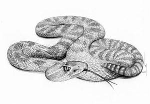 Rattlesnake Striking Drawing | www.imgkid.com - The Image ...