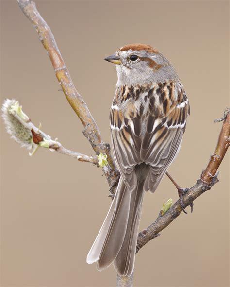 american tree sparrow audubon field guide