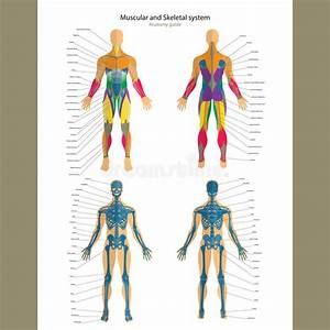 Anatomy Guide  Male Skeleton And Muscular System With