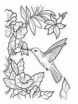 Coloring Hummingbird Pages sketch template