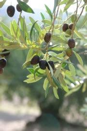 olivenbaum pflege anleitung schneiden und ueberwintern