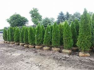 Emerald Green Arborvitae Height — Farmhouse Design and