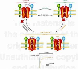 Diagram Illustrating The Various States Of The Sodium Channel  The