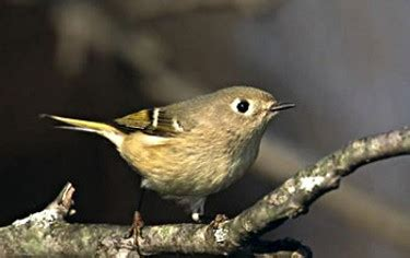 ruby crowned kinglet  facts  identification tips