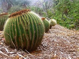 Barrel Cactus HD Wallpaper | Plants Wallpapers