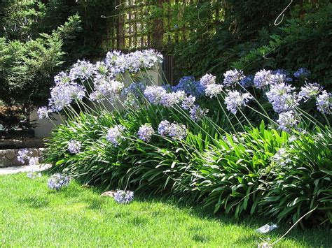 how to divide agapanthus plants 17 best ideas about agapanthus africanus on pinterest white flowers amazing flowers and