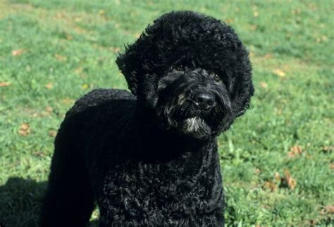 portuguese water dog training dogs dog breeds picture