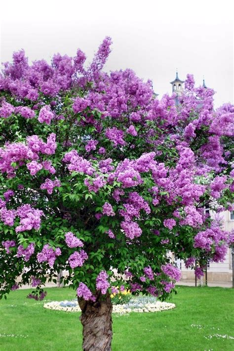 lilac trees   good choice    landscape