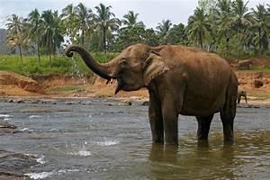 Indian Elephant Laos National Animal Wallpapers9