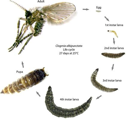 fruit flies gnats  drain flies pronto pest management
