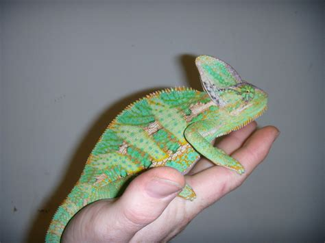 veiled chameleon facts  pictures