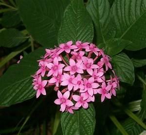 pink Flower Pentas, Star Flower, Star Cluster photo ...