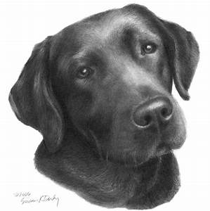 "Stunning ""Black Lab"" Pencil Drawings And Illustrations For ..."
