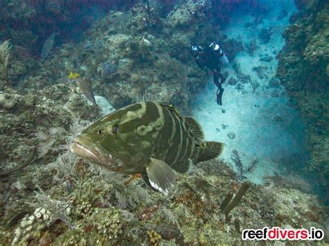 grouper cuba curious reefdivers io side change dive experience favorite most replaced darker quickly displaying fins splayed shots showing bright