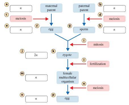 MasteringbiologyMeiosisAnimalLifeCycles