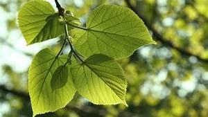 Littleleaf Linden: The Tree of Love • Arbor Day Blog