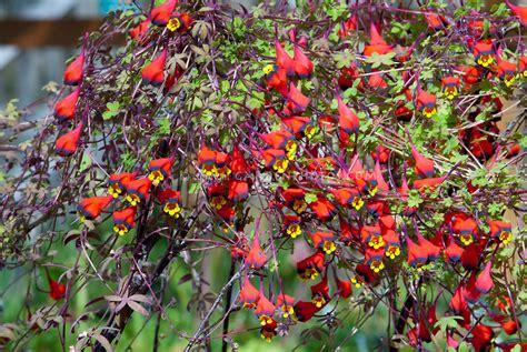 Tropaeolum Tricolor  Plant & Flower Stock Photography