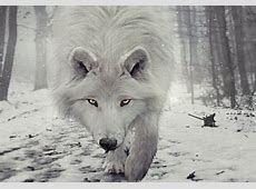 snow wolf Dogs & Animals Background Wallpapers on