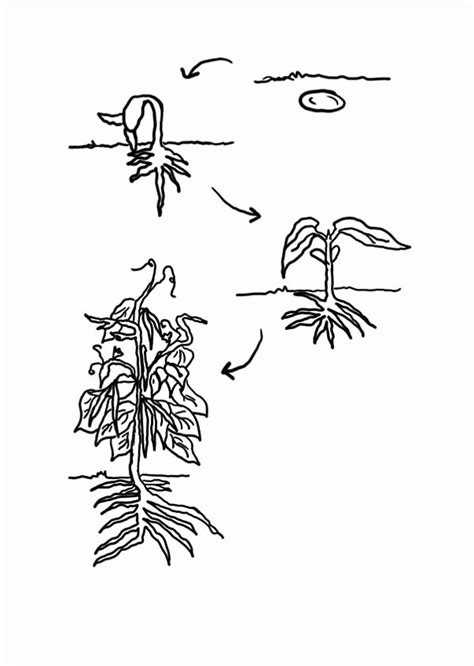 life cycle   plant coloring page coloring home