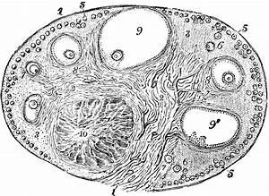 Ovary Of The Cat