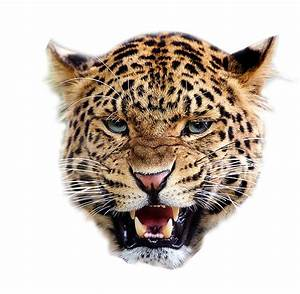Angry tiger transparent background ~ Free Png Images