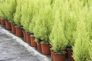 cypress trees in pots valuable tips on how to care for a lemon cypress tree
