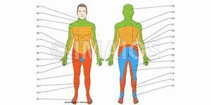 Anatomie Des R U00fcckenmarks