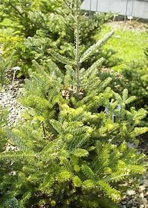 Weidenruten Zum Pflanzen Kaufen : koniferen 014 schneiden pflanzen kaufen pflege abies ~ Lizthompson.info Haus und Dekorationen