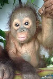 604 best Save the orangutan images on Pinterest   Monkeys ...