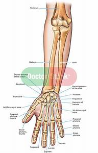 Anatomy Of The Forearm And Hand Bones