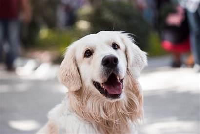 Dog Play Elderly Golden Retriever Muzzle Credit