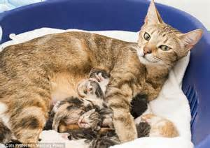 just cats rescued tabby cat gives birth to eleven kittens just days