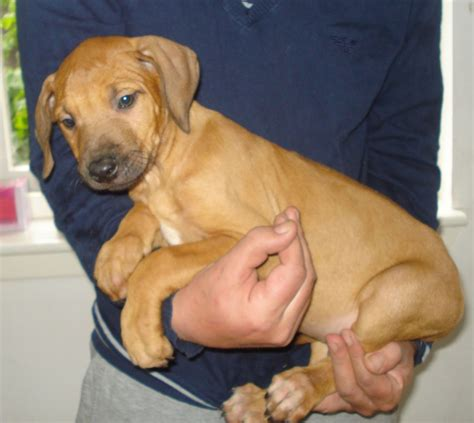 Rhodesian Ridgeback Arizona Puppies For Sale