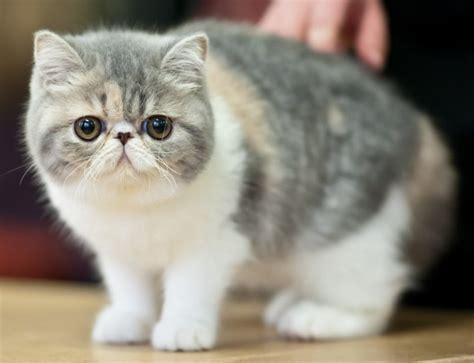 hair cat shorthair purrfect cat breeds