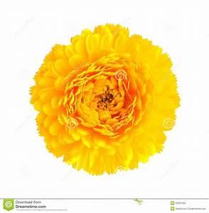 Yellow Chrysanthemum Flower Stock Image - Image: 32391025