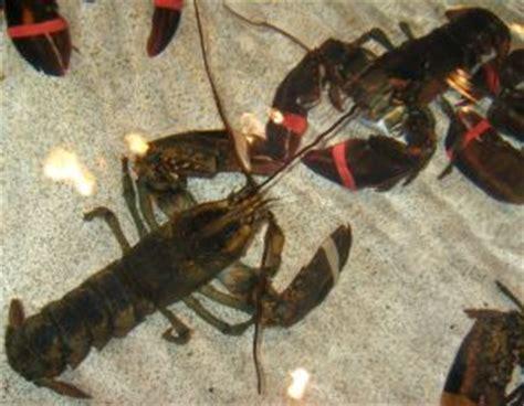 comment cuisiner le homard le homard est un crustacé