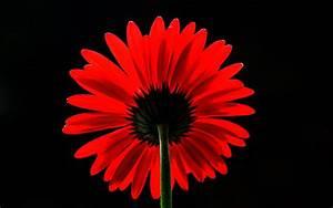 Wallpaper Red Daisy, Red Gerbera Daisy, 4K, Flowers, #608  Red