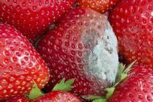 Schimmel In Pflanzen : schimmel auf erdbeeren bek mpfen 3 tipps ~ Bigdaddyawards.com Haus und Dekorationen
