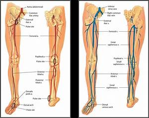 Leg Anatomy Arteries