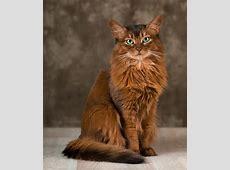 Somali Katze Bilder Madamede