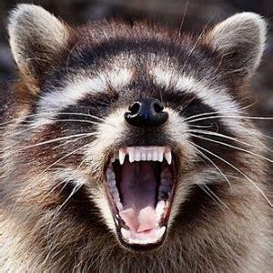 surge  vicious raccoon attacks  people wnd