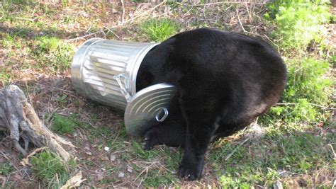 Black bears adapt to life near humans by burning the ...