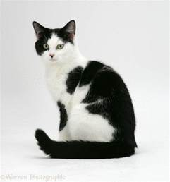 black and white cats black and white cat image wallpapers gallery