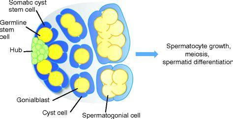 Lessons From The Drosophila Testis