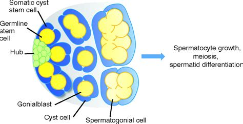 The Stem Cell Niche Lessons From The Drosophila Testis