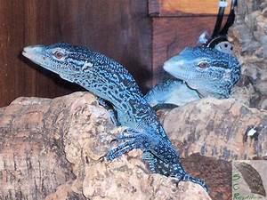 Blue Tree Monitor Lizard | Available Blue Tree Monitor ...