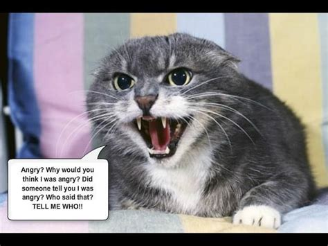 19 Best Images About Angry Cats On Pinterest