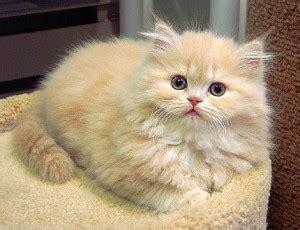 kucing anggora ramadhani dwi satrio