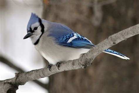 naturalist fan blue jays orilliamatterscom